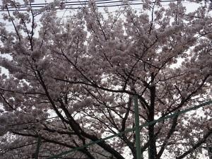 満開の桜DSC09988